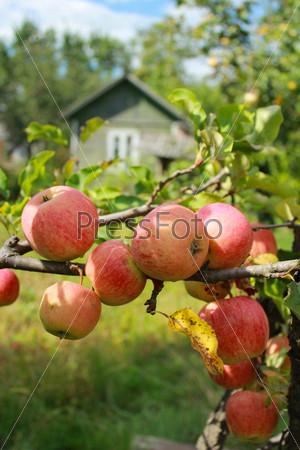 Вкусные и спелые яблоки