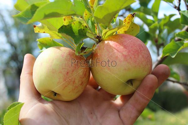 Рука придерживает спелые яблоки, висящие на ветке