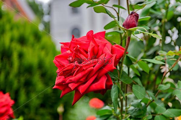 Фотография на тему Красная роза на кусте