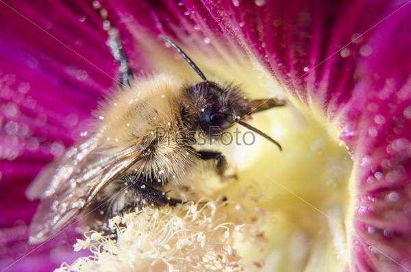 Шмель собирает нектар из почки мальвы