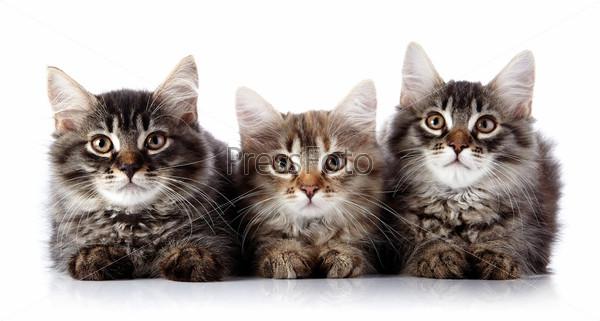 Три пушистые кошки на белом фоне