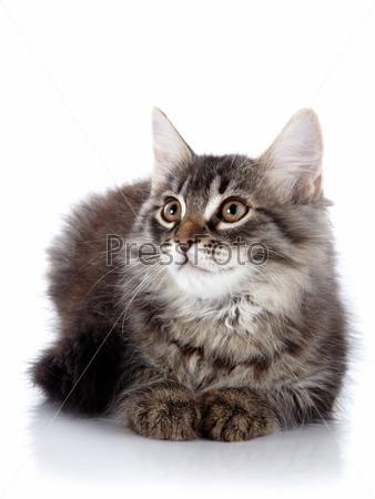 Пушистая красивая кошка на белом фоне