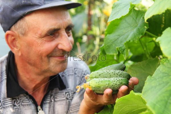 Огурцы в руке фермера