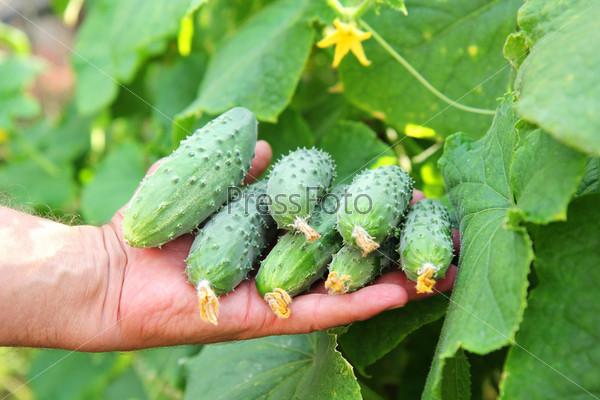 Фотография на тему Огурцы в руке фермера