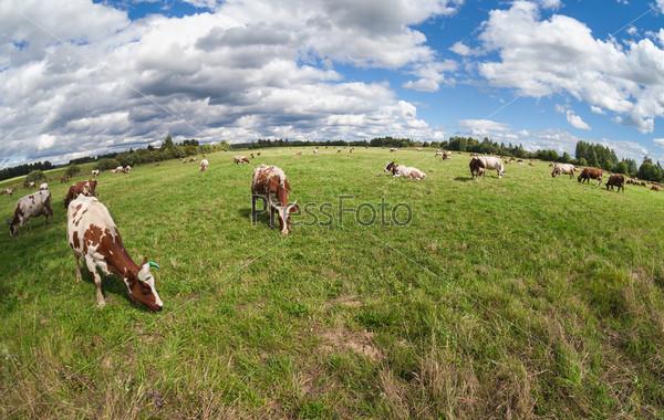 Стадо коров, пасущихся на пастбище