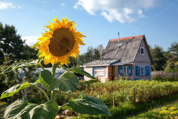 Фотография на тему Красивый желтый подсолнух на фоне небольшого дома