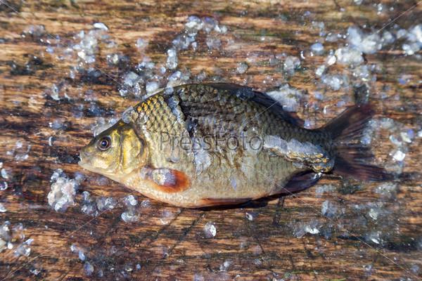 Пресноводная рыба. Карп