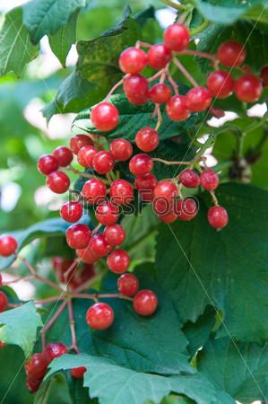 Калина — род древесных растений семейства Адоксовые