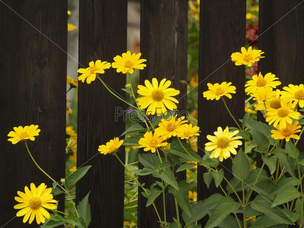Желтые цветы на фоне темно-коричневого забора