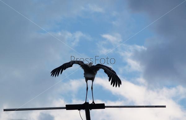 Фотография на тему Молодой аист учится летать на фоне голубого неба