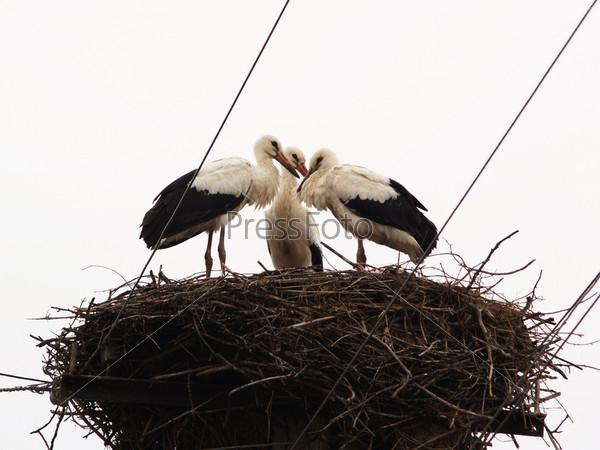 Фотография на тему Семья аистов в гнезде