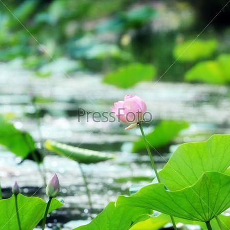 Фотография на тему Красивые цветы лотоса орехоносного на поверхности воды
