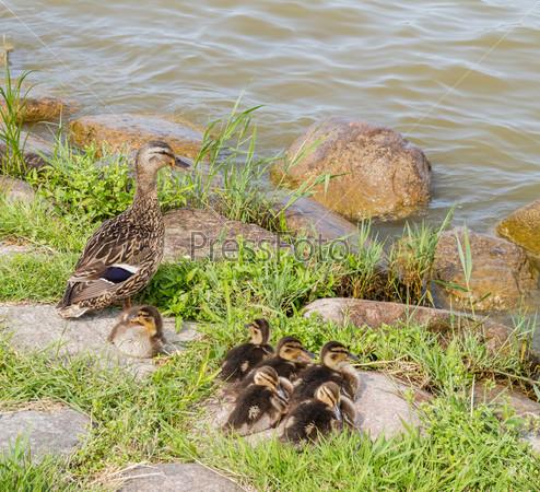 Семья уток