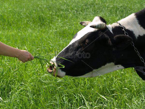 Черно-белая корова на поле ест траву с руки