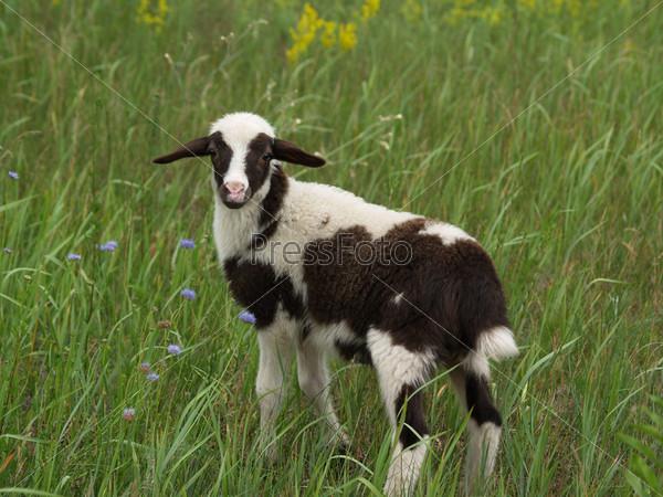 Фотография на тему Молодой ягненок на поле с зеленой травой и цветами