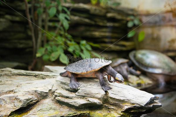 Черепаха медленно идет через поле