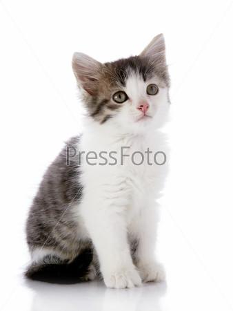 Серо-белый маленький котенок