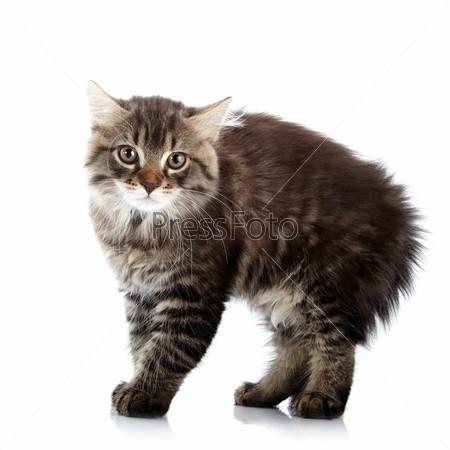 Полосатый пушистый сердитый маленький кот