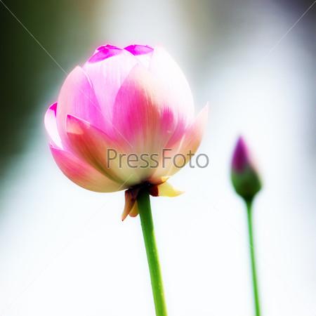 Красивые цветы лотоса орехоносного на поверхности воды