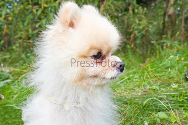 Профиль маленькой белой собачки