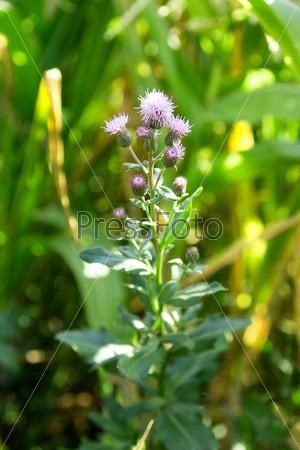 Колючее сорное растение