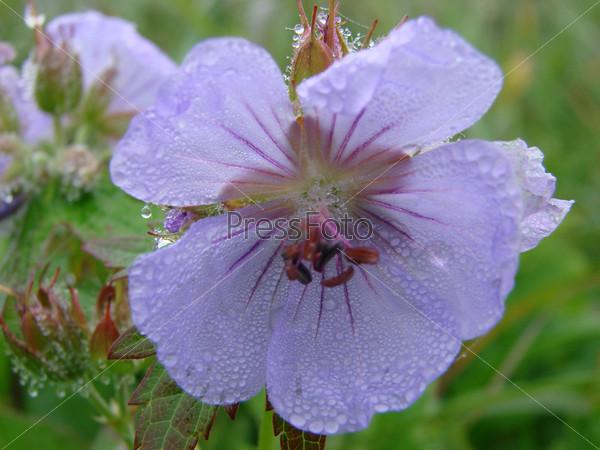Цветы острова Уруп
