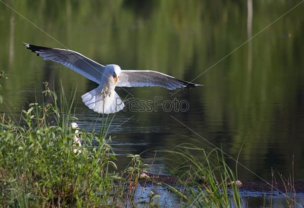 Чайка над гнездом