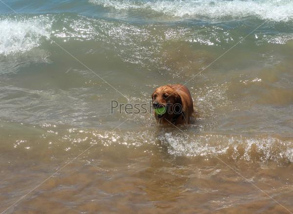 Фотография на тему Собака играет в воде на берегу моря