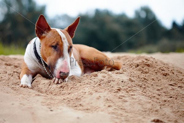 Английский бультерьер лежит на песке