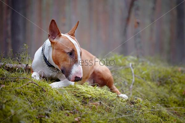 Бультерьер лежит в лесу
