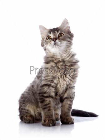 Пушистая красивая кошка сидит на белом фоне