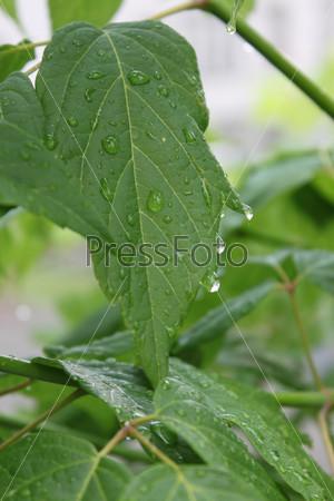 Дождливые капли на зеленых листьях