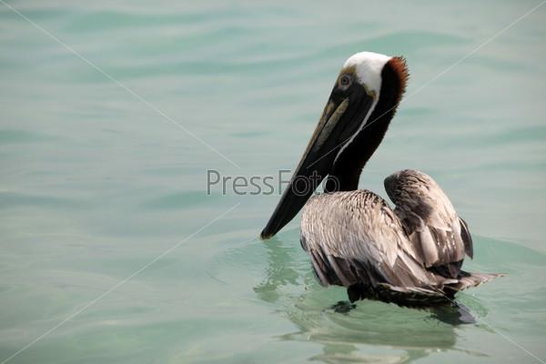 Фотография на тему Коричневый пеликан