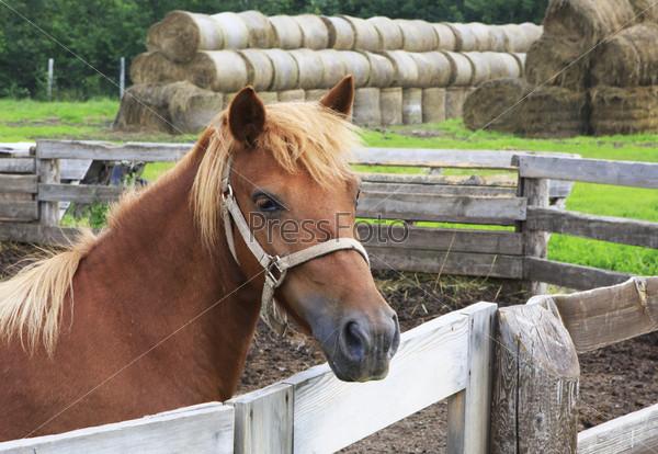 Лошадь алтайской породы в загоне на фоне сена