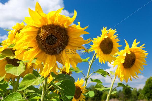 Красивые желтые подсолнухи на фоне голубого неба