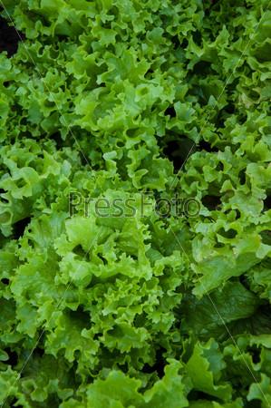 Фотография на тему Зелень салата