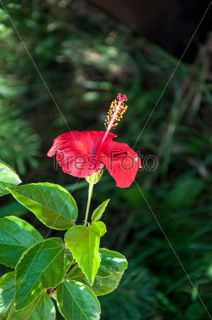 Фотография на тему Гибискус китайский, или китайская роза