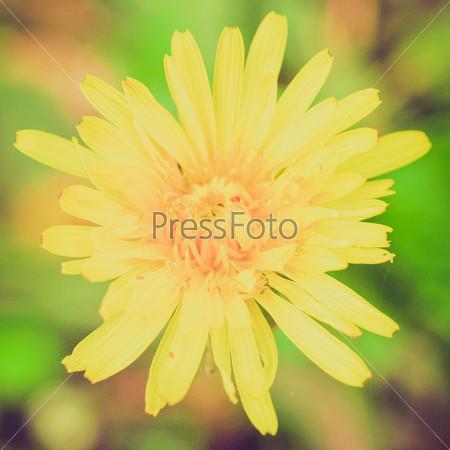 Фотография на тему Желтый цветок цикория