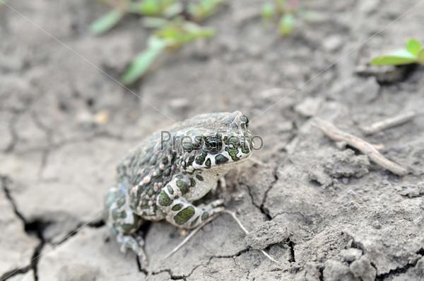 Жаба на земле