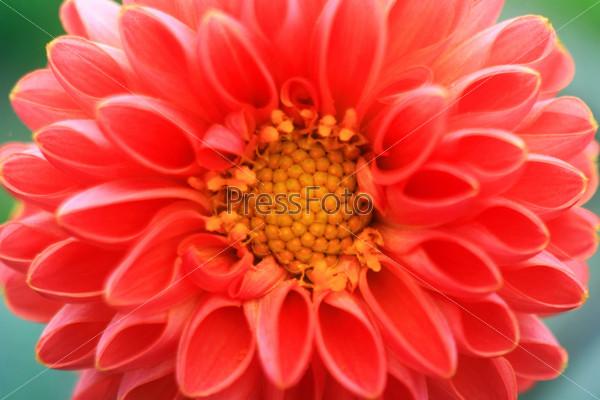Красный цветок крупным планом