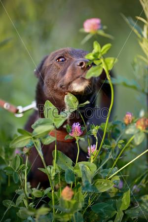 Черный пес нюхает цветок клевера