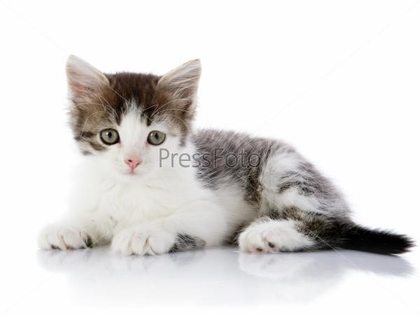 Фотография на тему Серо-белый котенок лежит на белом фоне