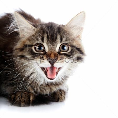 Портрет полосатого пушистого шипящего котенка