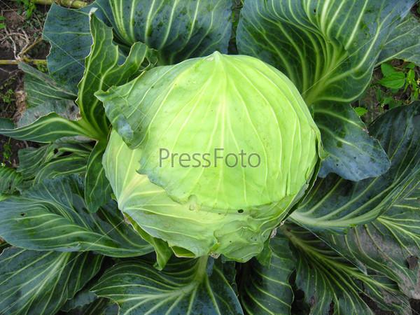 Большой зеленый кочан капусты