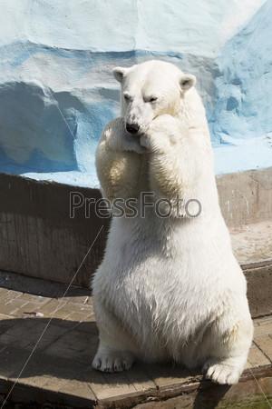 Смешной полярный медведь сидит на лапах