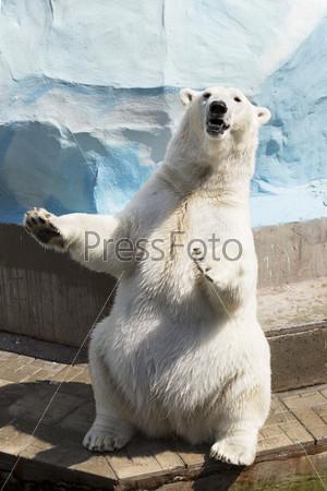 Полярный медведь сидит на лапах