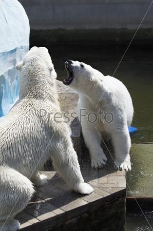 Два белых медведя выясняют отношения