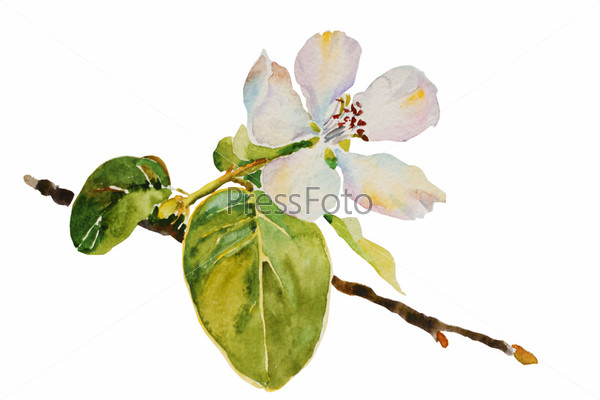 Цветущая ветвь айвы и листья, акварель