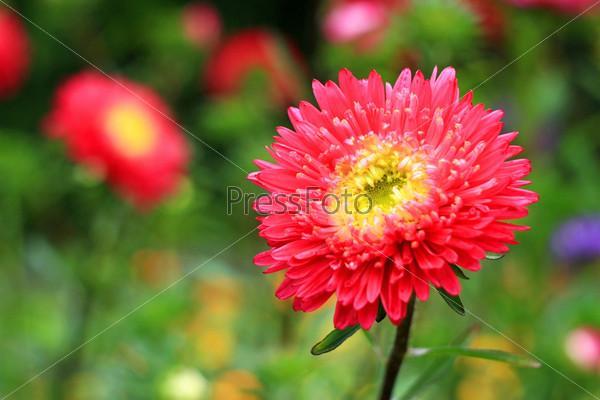 Фотография на тему Цветок астра на поляне