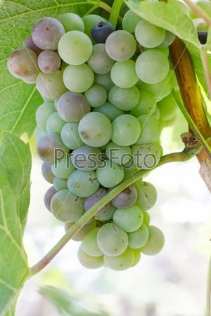 Фотография на тему Виноград